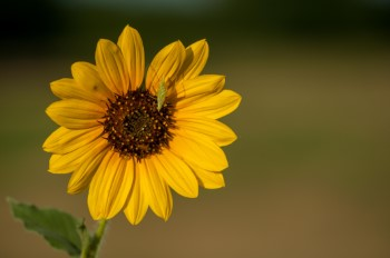 animals and bugs attracted to sunflowers