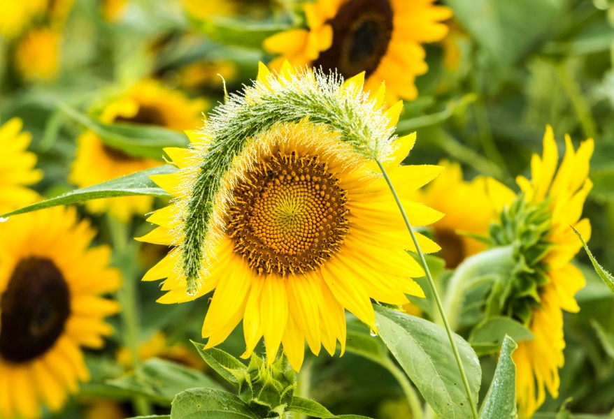 sunflower hiding behind a weed