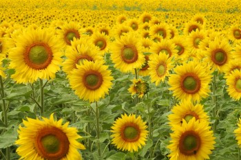 50 amazing facts about sunflowers