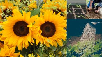 sunflower growing tips