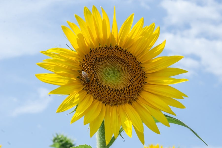 sunflowers represent peace and hope