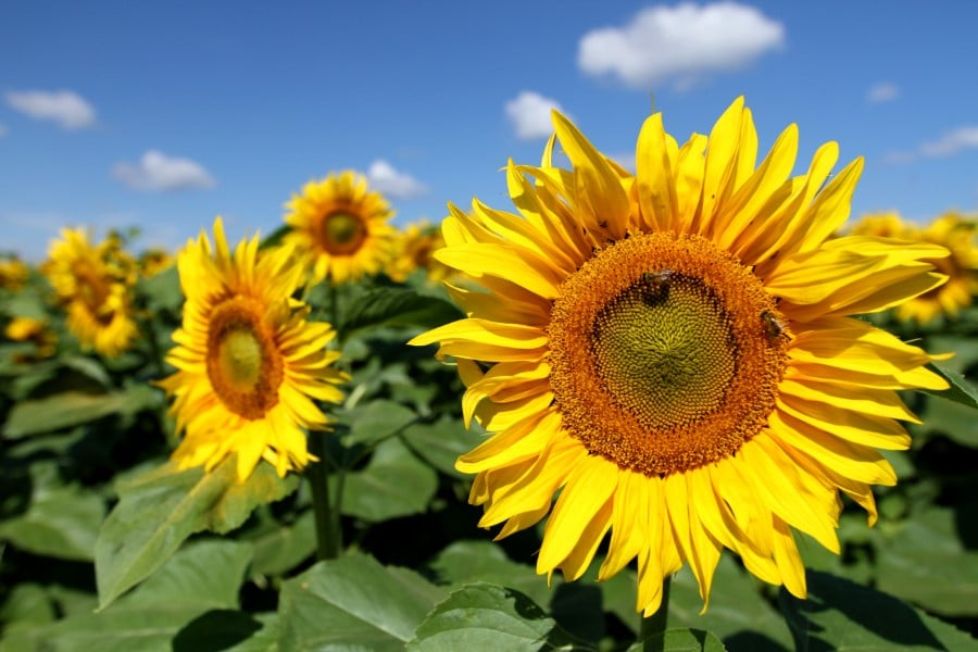 dreams about many sunflowers