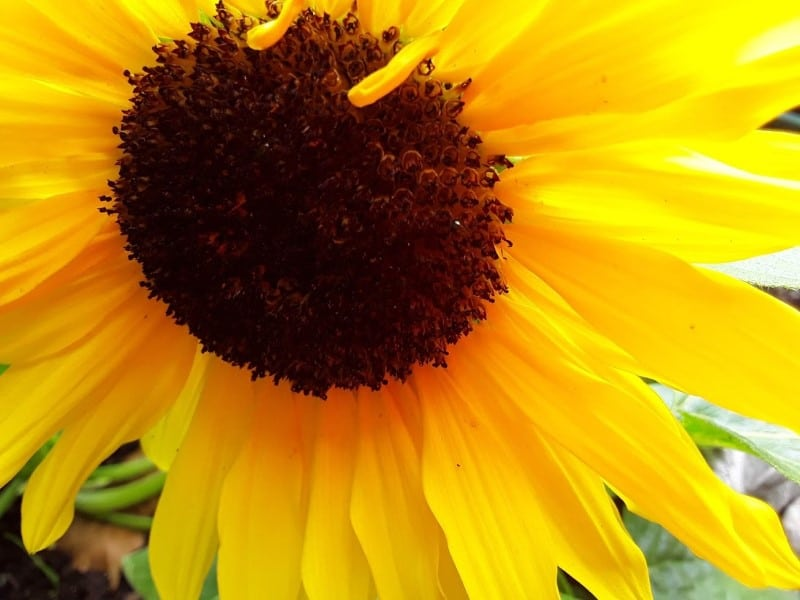 a yellow sunflower as we see it