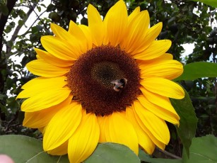 why is a sunflower called a sunflower